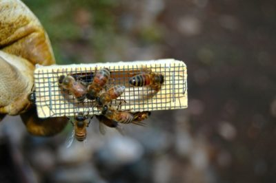 Package Bees and Queens